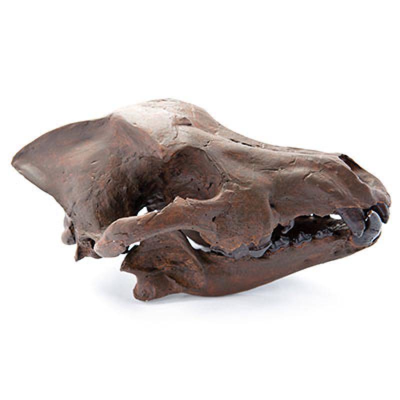 Canis Dirus Wolf Jawbone Charleston Museum