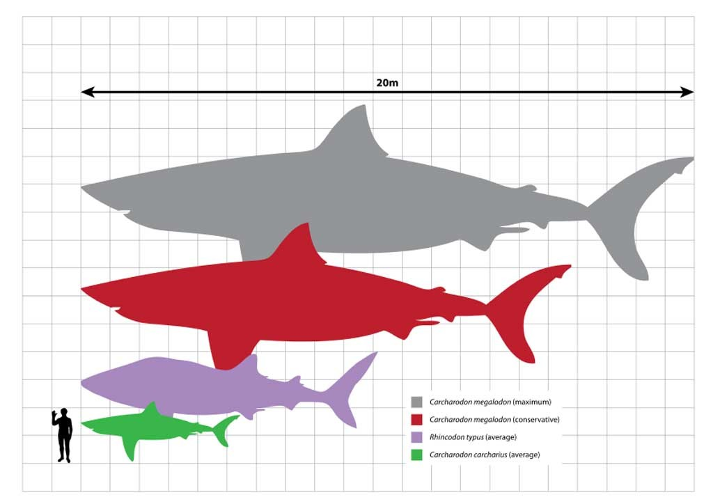 Megalodon-Graphic-Scale
